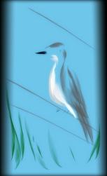 Kingbird (c) Johan Schaeffer